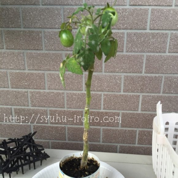 Z会ミニトマト栽培
